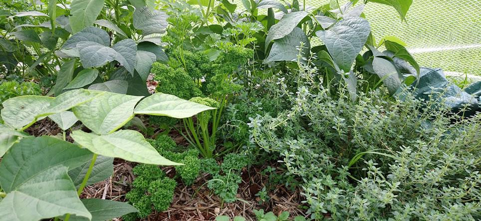 Interplanting Vegetable Garden