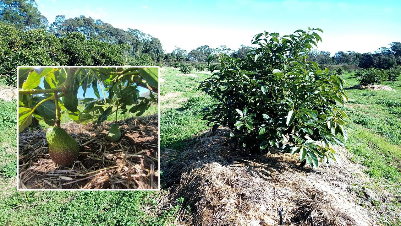 avocado trees SONIC DIY FertilisersF
