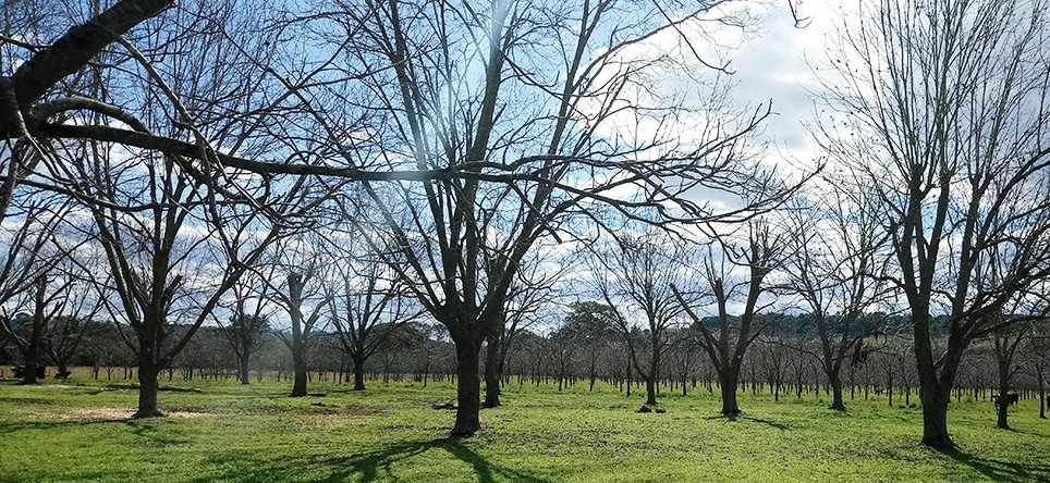 Pecan Farmers' Success using DIY Bio-Fertilisers